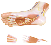 3 Part Foot Muscle Model with removable parts
